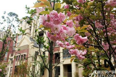 柏庄香域柏庄香域的海棠花