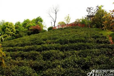 高速铜都天地小区里的茶山