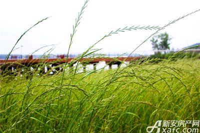 滨江壹号院茂盛的青草